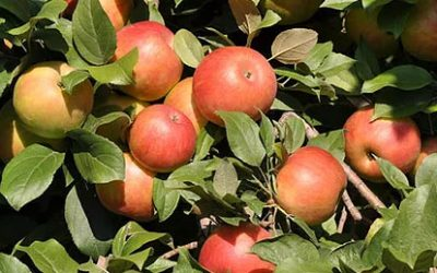 2013 Honeycrisp apple picking starts this weekend!