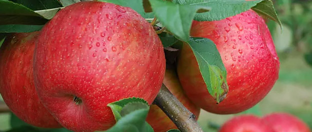 Pick your own Honeycrisp starts 9/12/15