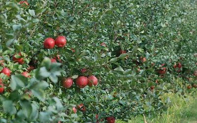 Honeycrisp picking starts 9/13/14